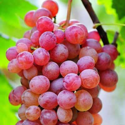 玻璃脆葡萄